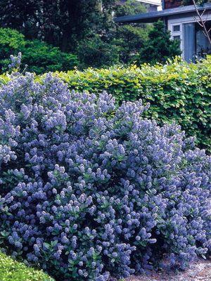 Вечнозеленые кустарники с листьями и растения для сада декоративные и цветущие: названия и фото