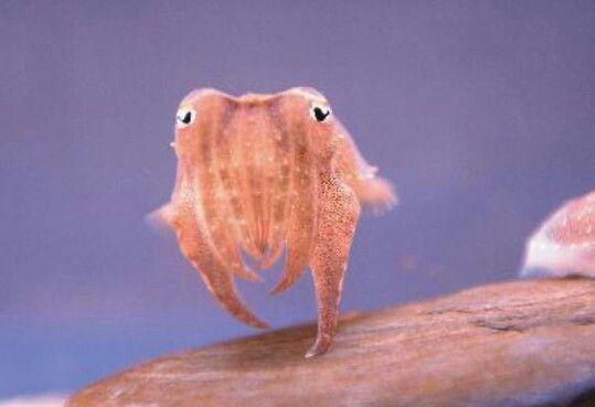 dancing cuttlefish
