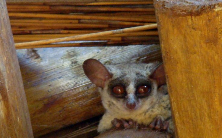 Bush baby in a thatched Roof on Raptors View Wildlife Estate close to Hoedspruit