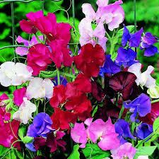 Image result for •	Sweet Pea