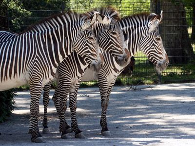 Zebra - Hintergrundbild kostenlos - Wallpaper gratis!