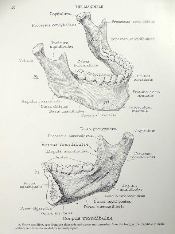 1950's Human Jaw Mandible Anatomy Original Vintage by oddlyends