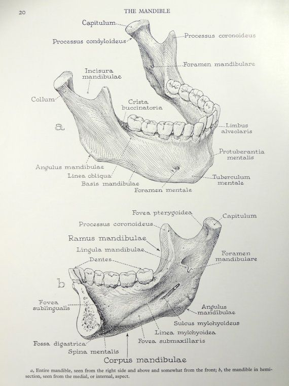 1950 U0026 39 S Human Jaw Mandible Anatomy Original Vintage By