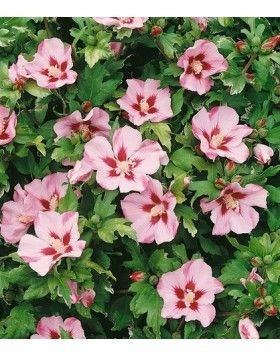 Hibiscus syriacus 'Hamabo' – Magas törzsű rózsaszín virágú mályvacserje
