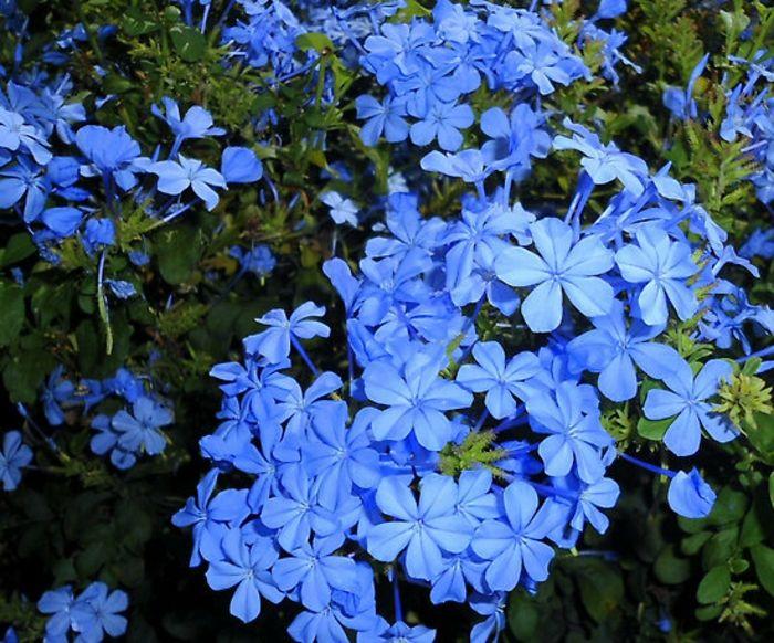 balkonpflanzen schattig bleiwurz plumbago blaue blüten