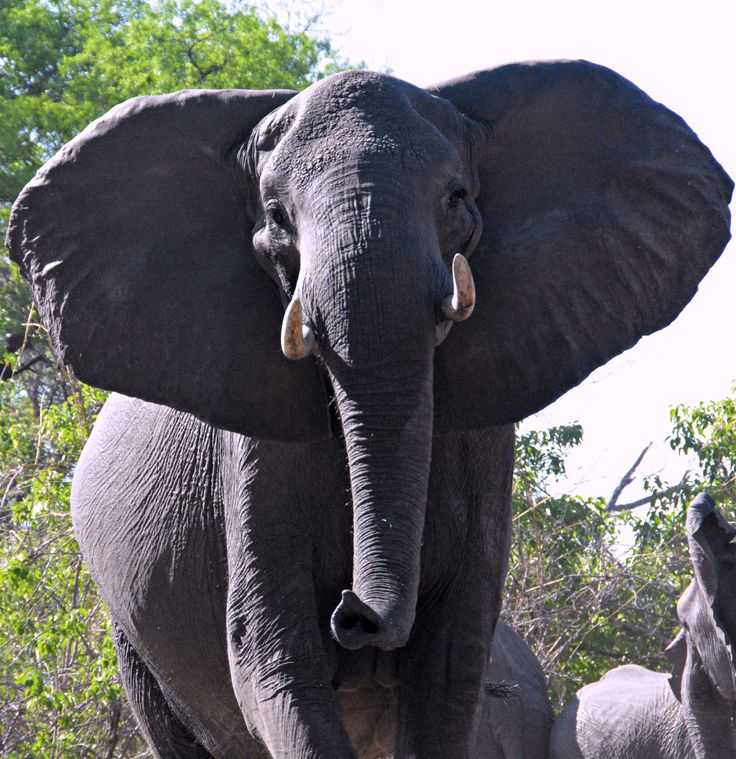 Botswana elephant (Wil 4699)