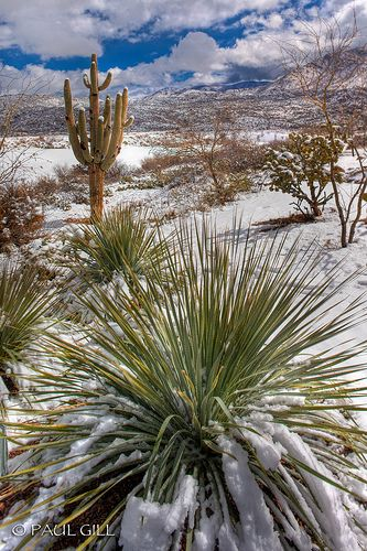 snow covers saguaros, sotol and chainfruit cholla in the Sonoran Desert, northern foothills of the Catalina Mountains, Arizona