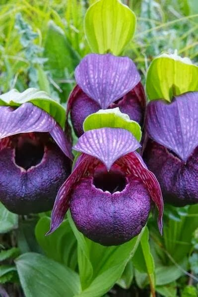 Cypripedium Tibeticum Orchids ~ ©Chris Gardner