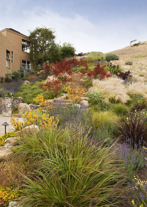 yellow and red kangaroo paw. Tiburon Hillside, CA. By Arterra Landscape Architects.