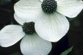 How to Care for a Dogwood Bush