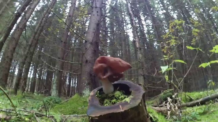 """Mushroom """"Gyromitra infula"""" found in the forest in Russia"""