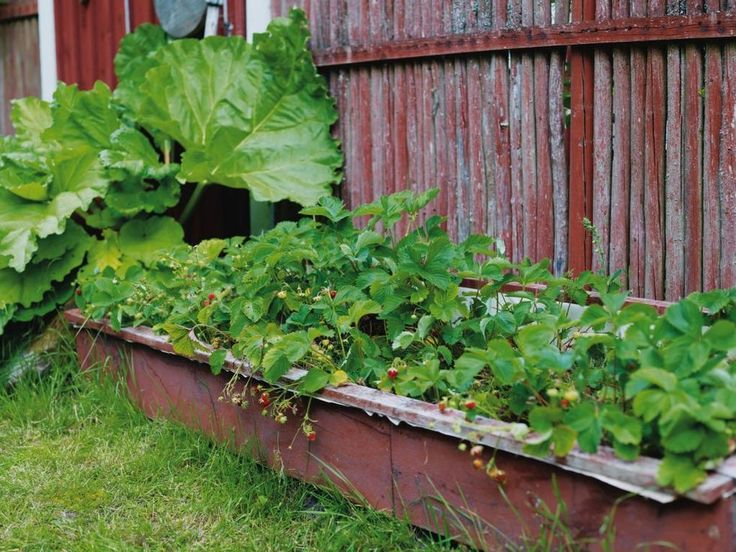 """""""Jag kultiverade bit för bit, med början runt huset. Om man är flitig med gräsklipparen får man en jättefin och torktålig gräsmatta av ängsgräset."""" Mary Lou betonar att hon, trots trädgårdens artrikedom, inte är någon växtsamlare. Det är färg, form och struktur som gäller och det märks att sambon Lars-Erik, som står för snickrandet, är scenograf / Jordgubbar i ett upphöjt, hemmabyggt tråg växer så det knakar tack vare att jorden blir varmare. Rabarbern trivs ändå."""