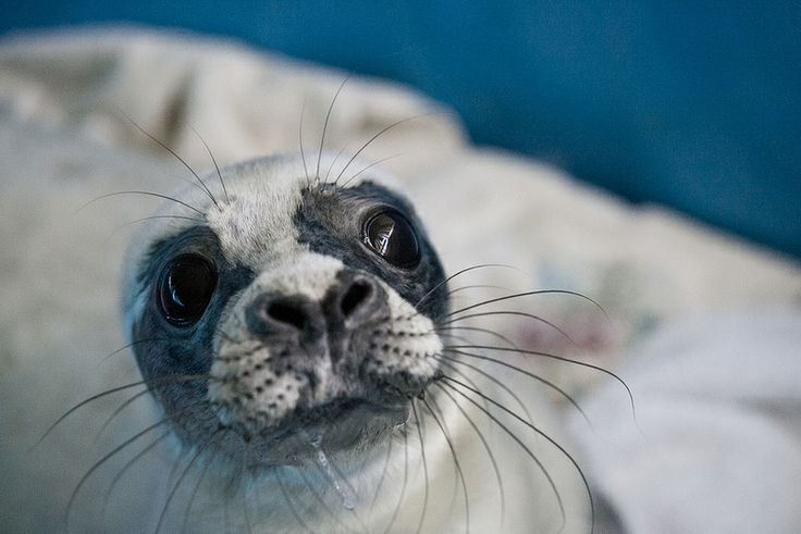 Seal pups in the rehabilitation center for marine mammals