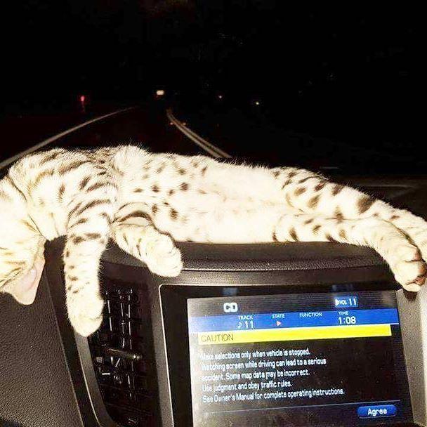 Good night Lights out  #cats  #catstagram  #catsagram  #catsofig #bengal #bengalcats #bengalsofinstagram #cat  #bengalcat  #whiskas #kitten  #kittens  #catlover  #caturday  #catoftheday  #catofinstagram  #catsworld  #catslife  #catslovers  #catsrule  #feline  #catsitting  #catstagram  #bengalcat  #catsdaily  #catsforever  #catwalk #cat_features #cat_of_instagram #котик #кот #meow
