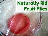 Naturally Catch Fruit Flies (a quarter inch of vinegar in a small, open container with one DROP of liquid soap added will attract and then drown them!)