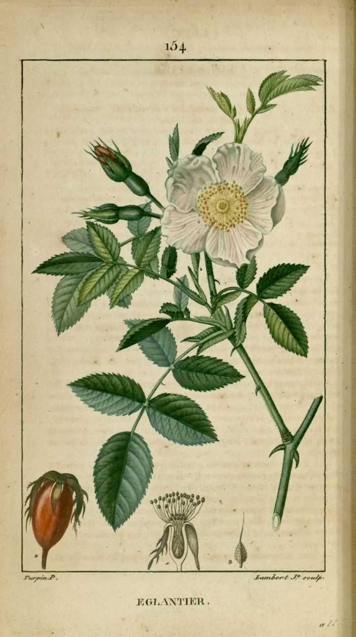 flore medicale - flore medicale - eglantier rosier des haies rosier sauvage - Gravures, illustrations, dessins, images