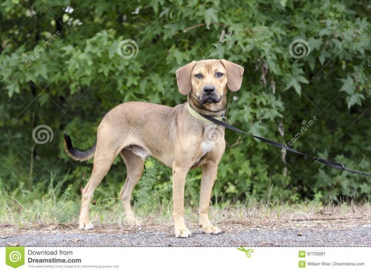 The Domestic Dog Black Mouth Cur Black Mouth Hound Beagle Mixed