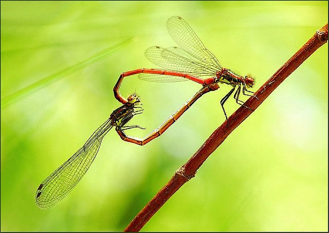 Dragonflies mating = <3.  Really!