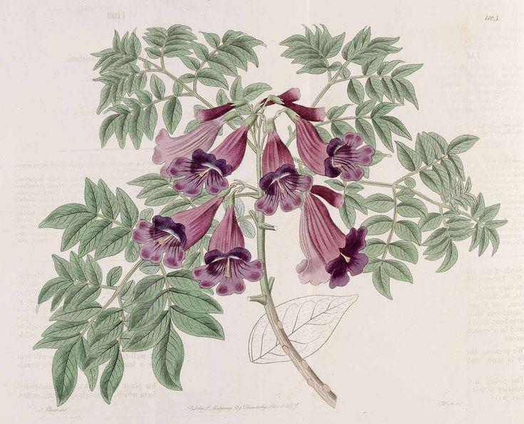 Jacaranda jasminoides (Thunb.) Sandwith [as Jacaranda tomentosa R. Br.]