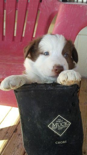 Border Collie puppy for sale in PAHRUMP, NV. ADN-27869 on PuppyFinder.com Gender: Female. Age: 7 Weeks Old