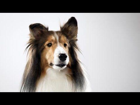 ABC Canino - Pastor de Shetland - legendado portugues.