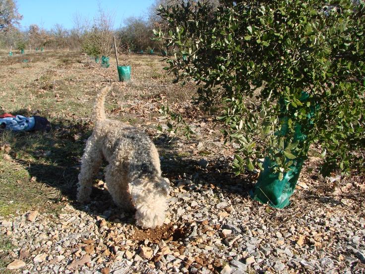 Chien chercheur de truffes