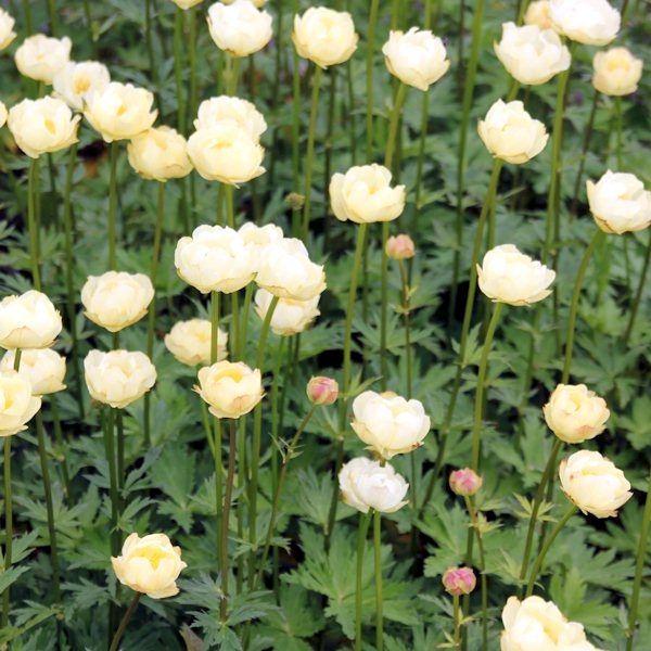 Garten-Trollblume Alabaster