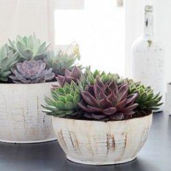 Echeveria, stoere plant, mooi bij elkaar in meerdere grote potten of met meerdere verschillende kleuren in het grijsblauwe geruite glazen windlicht.