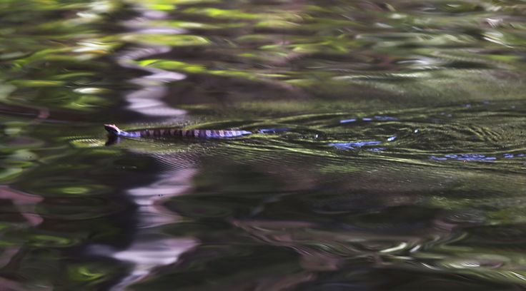 ANDREWS, SC - OCTOBER 09: A snake floats along the flood water being fed from the breached dams upstream as the water continues to reach areas in the eastern part of the state on October 9, 2015 in Andrews, South Carolina. The state of South Carolina experienced record rainfall amounts causing severe flooding and officials expect the damage from the flooding waters to be in the billions of dollars. (Photo by Joe Raedle/Getty Images) via @AOL_Lifestyle Read more…