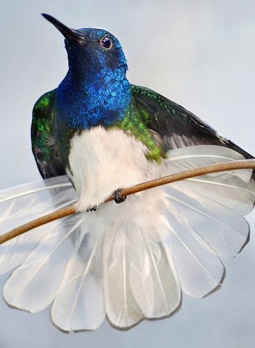 A White-necked Jacobin hummingbird fans out at the San Diego Zoo.