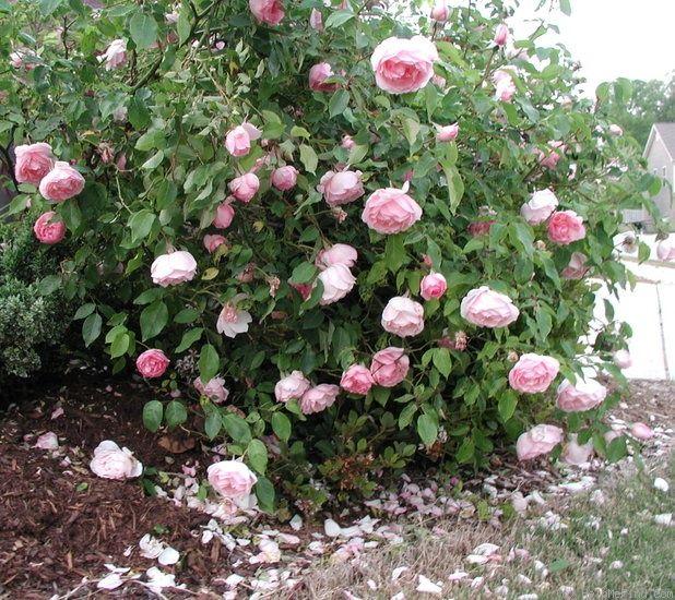 104 best antique rose varieties images on pinterest gardening pink roses and backyard patio - Rose cultivars garden ...
