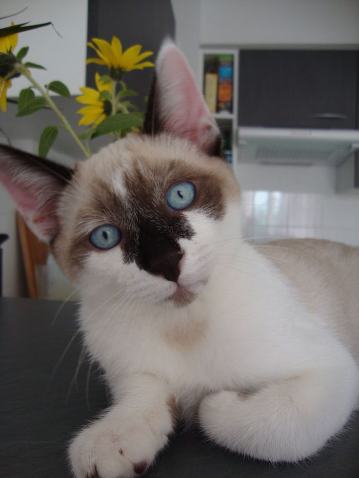 Cat - European - Indigo on www.yummypets.com Snowshoe