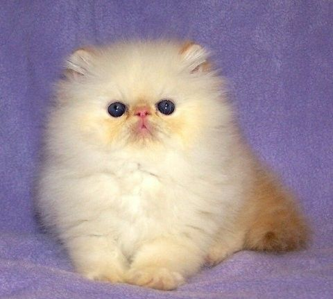 Persian cats for sale in sacramento
