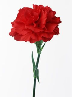 Red carnation, my mamas favorite flower <3