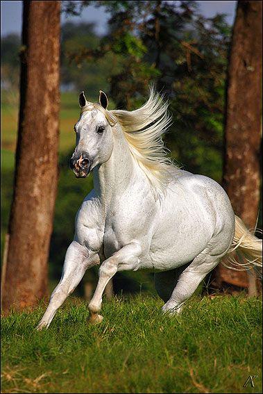 El Shady Zorrero, American Quarter Horse