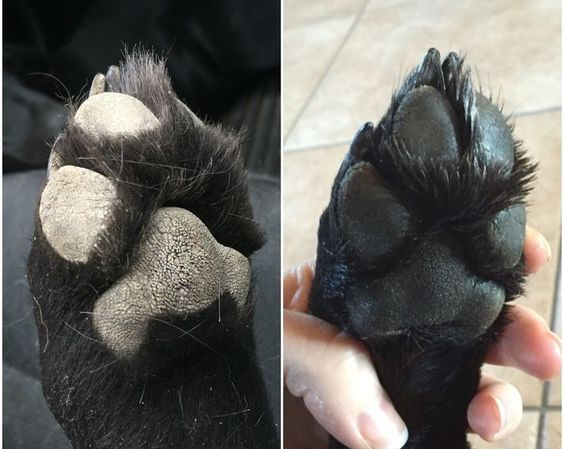After two applications of the paw balm. 2 T. olive oil, 2 T. coconut oil, 1.5 T shea butter, & 2 T. beeswax (small pellets work best for melting and measuring) In a microwave safe small container, combine the 4 ingredients. Heat in 30 second increments, s
