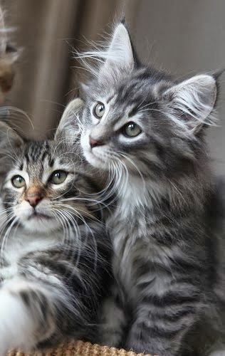 Norwegian Forest kitties - is there really anything as cute as kittens???