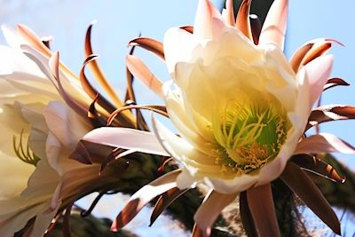 Malin Starvall  - Blommig kaktus