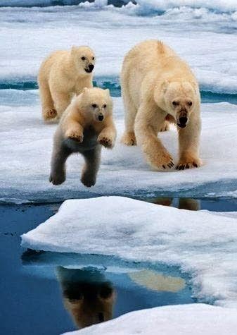 Vertical Wallpapers: Polar Bear Family