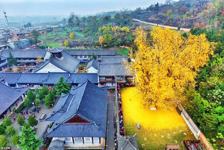 View from above: The tree's leaves have created the illusion of a golden carpet at the Zen Buddhist Temple in Luohandong village, China