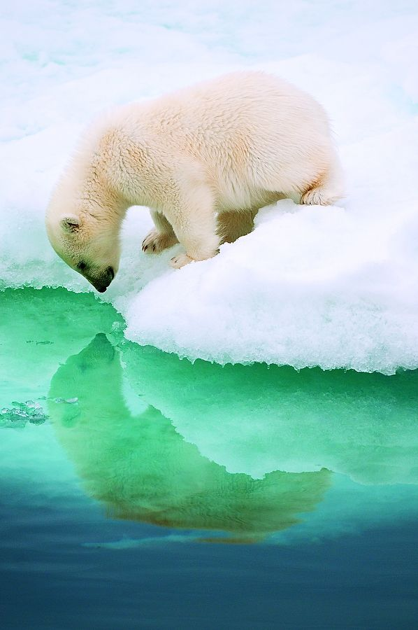 Who is that polar bear in the water?