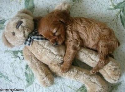 cuddlingNap Time, Bears Hug, Cute Puppies, Little Puppies, Puppy Love, Teddy Bears, My Heart, Cocker Spaniels, Animal