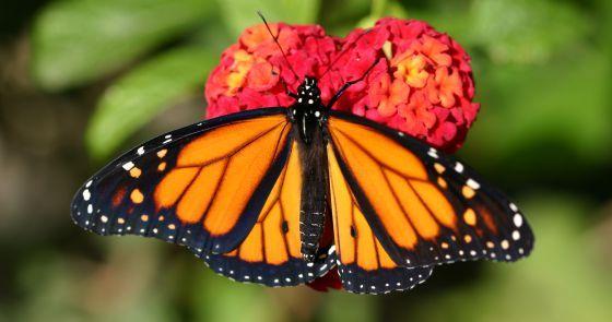 La mariposa monarca (Danaus plexipus)