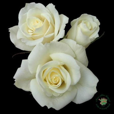 Escimo - Standard Rose - Roses - Flowers by category ...