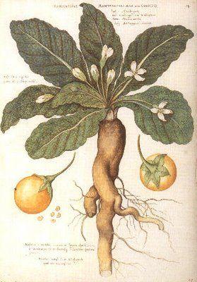 'mandrake' plant