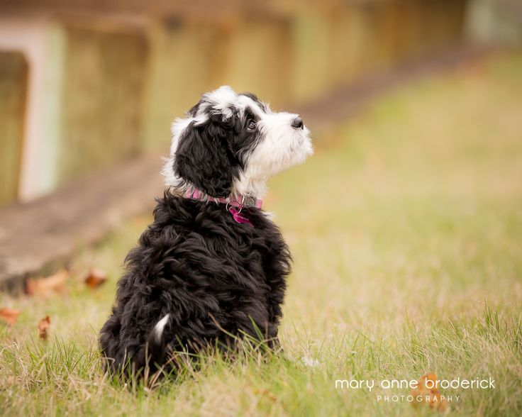 portugese_water_dog_sophie-11