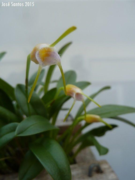 Maxillaria paiveana