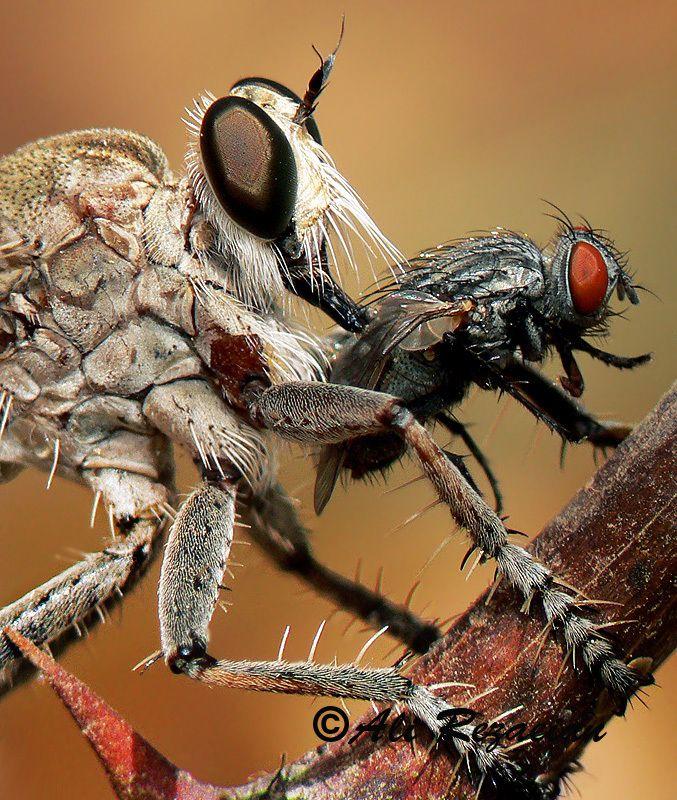 """Photo """"Asilidae & Prey"""" by Ali Rezaeian #500px"""