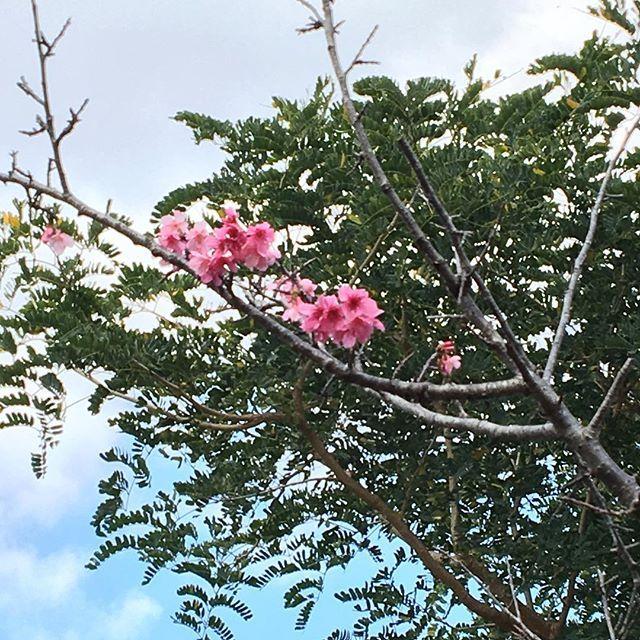 【mm_yu_26】さんのInstagramをピンしています。 《沖縄3日目☆ 国際通りから平和通りに行きひたすらあるいて漫湖公園へ🚶 グーグルマップを頼りに歩いてたら示された道が人の家と人の家の間の細い道だったたりして😅 イヌにめっちゃ吠えられたけど、ついて良かった♪沖縄では、もう桜が咲いてます🌸 これからまた違う桜が咲くらしいです!!! #沖縄#おきなわ#一人旅#女子一人旅#1ヶ月1人沖縄旅行#散歩#さくら#桜》