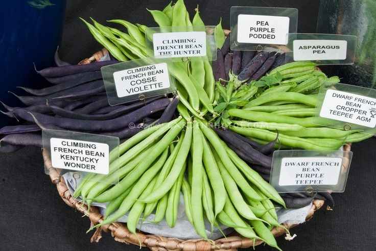 Signs labeling types of beans & peas, including Climbing French Bean Kentucky Wonder, Cosse Violette, The Hunter, Purple Podded Pea, Asparagus Pea, Dwarf French Bean Cropper Teepee & Purple Teepee, in basketPurple Teepe, Purple Beans, Asparagus Peas, Wedding Food, Colors Schemes, Baskets, Beans Kentucky, Mr. Beans, Beans Varieties